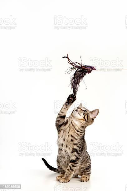 Playful kitten picture id185086608?b=1&k=6&m=185086608&s=612x612&h=2aafmzu6amv5ogoro7171qt6ufckbbnv9bfvmyng5t4=
