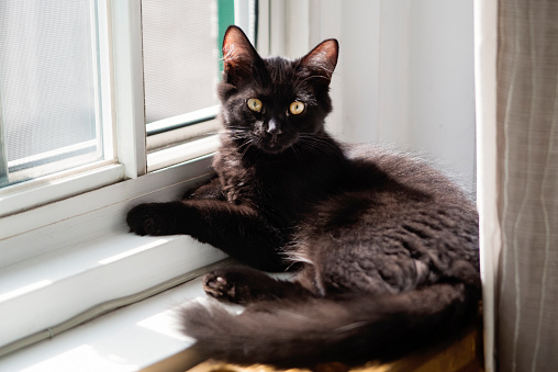 Playful black 4 month kitten resting on a window frame at home. It has yellow eyes and fluffy hairs in ears. Horizontal full length indoors shot with copy space.