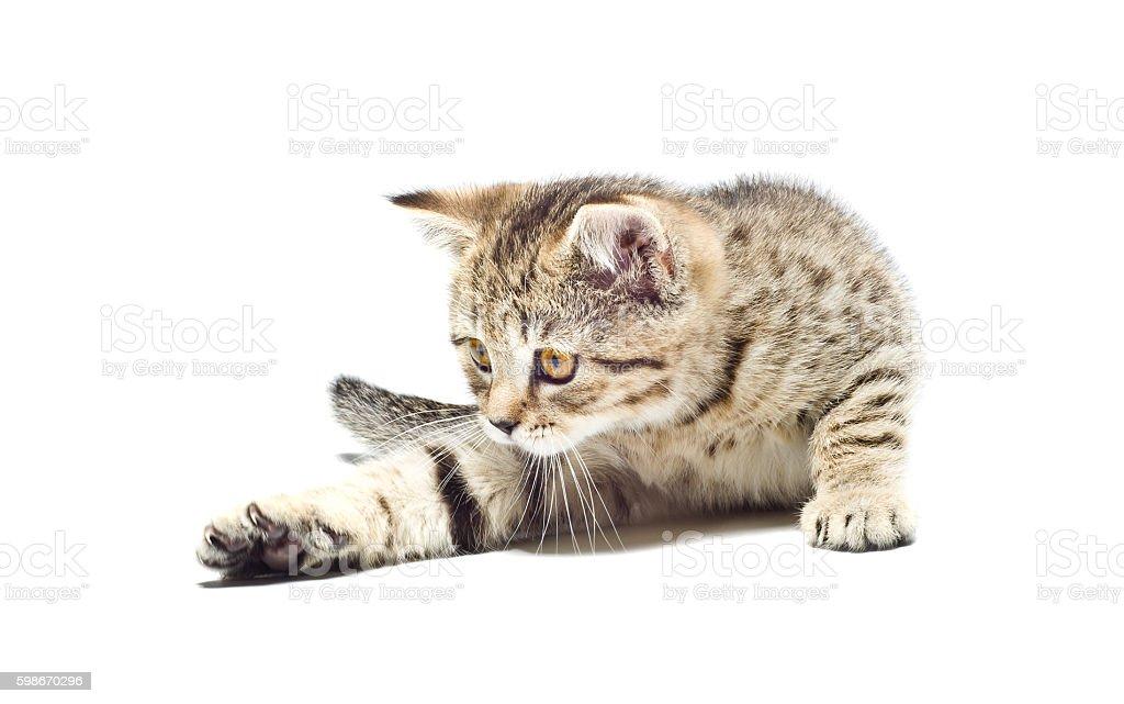 Playful kitten Scottish Straight stock photo