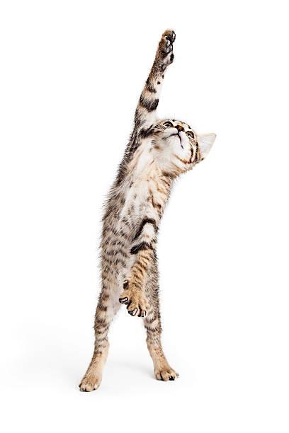 Playful kitten standing reaching one paw picture id537317266?b=1&k=6&m=537317266&s=612x612&w=0&h=qxxzq juzcnzhax1ax0iqi h7rqdx0lumnxxuwo9ej8=