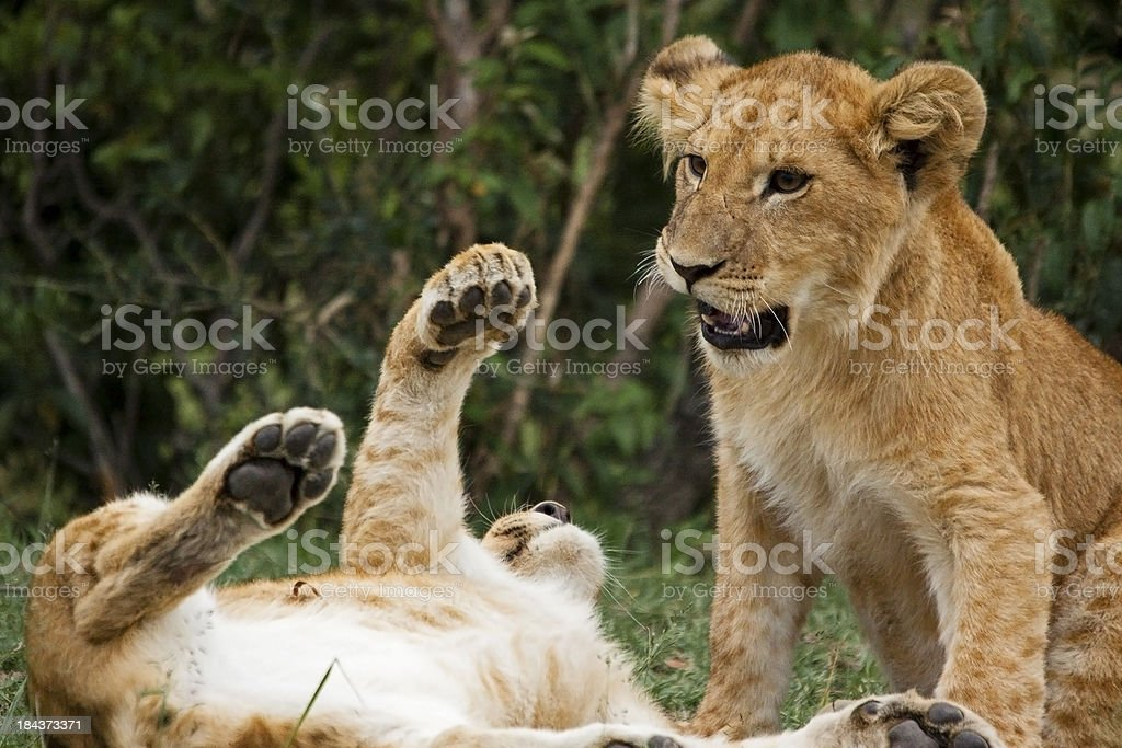 Playful Lion Cubs royalty-free stock photo