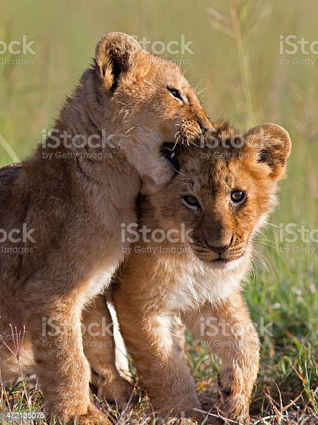 Playful lion cubs picture id472135075?b=1&k=6&m=472135075&s=612x612&h=4sux7uccn1cybyjq5paf51juy033ydizz5ztepbb is=