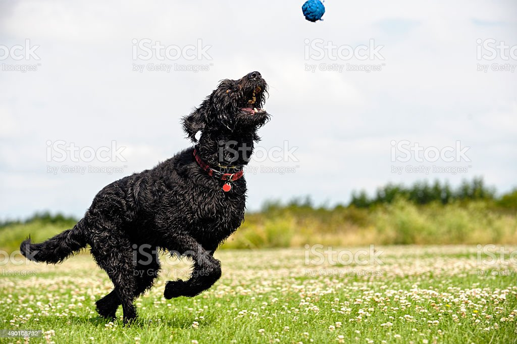Playful mixed-breed dog trying to catch the ball stock photo