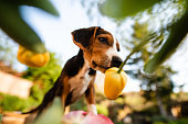 istock Playful mongrel puppy playing in the bush of yellow tulips 1220966652