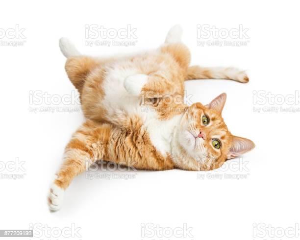 Playful orange tabby cat on white picture id877209192?b=1&k=6&m=877209192&s=612x612&h=cplrujjtnoxnkw6wyxpo1hlo9rzbybvsbamy1p vkok=
