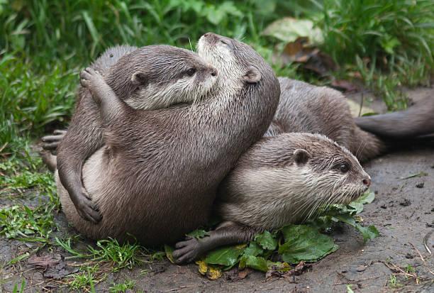 Playful otters stock photo