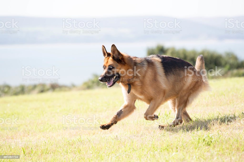 German Shepherd Dog in playful mood