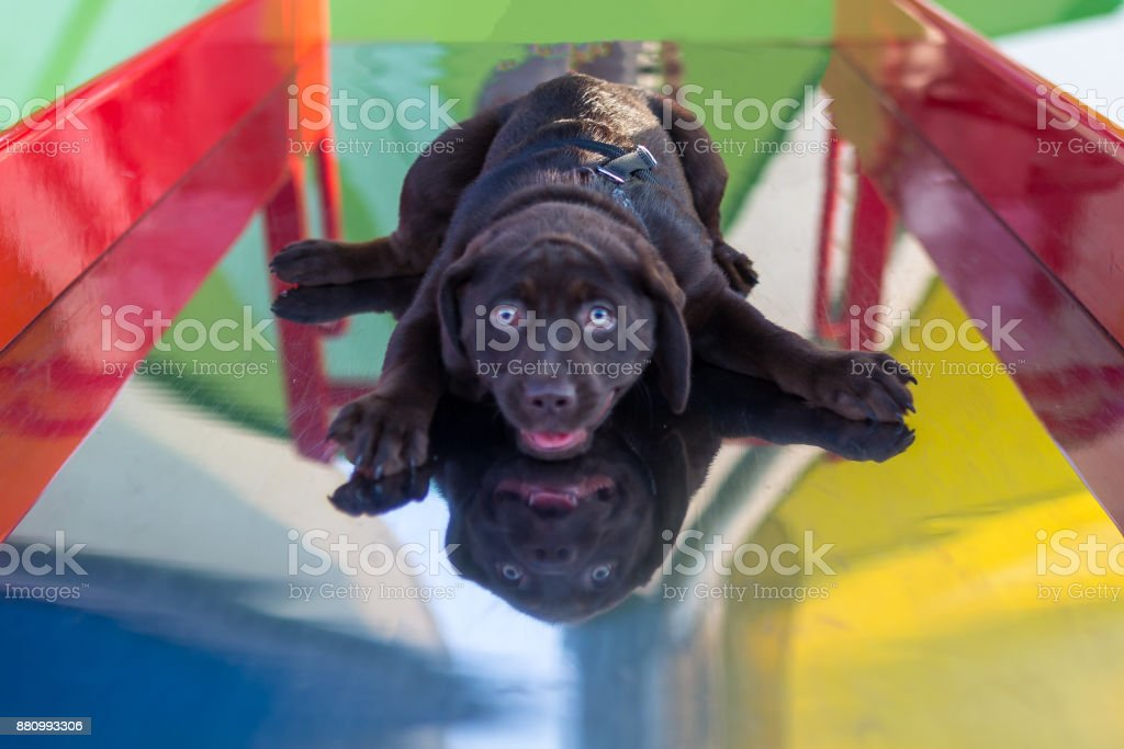 Playful Pets A very young chocolate labrador retriever puppy lays down and slides down a colorful children's playground slide Animal Stock Photo