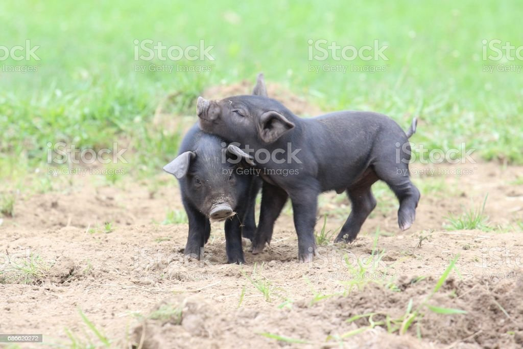 Playful Piglets photo libre de droits