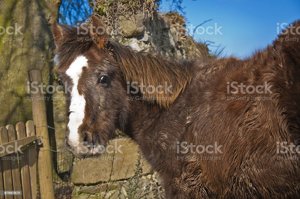 Playful ponies royalty-free stock photo