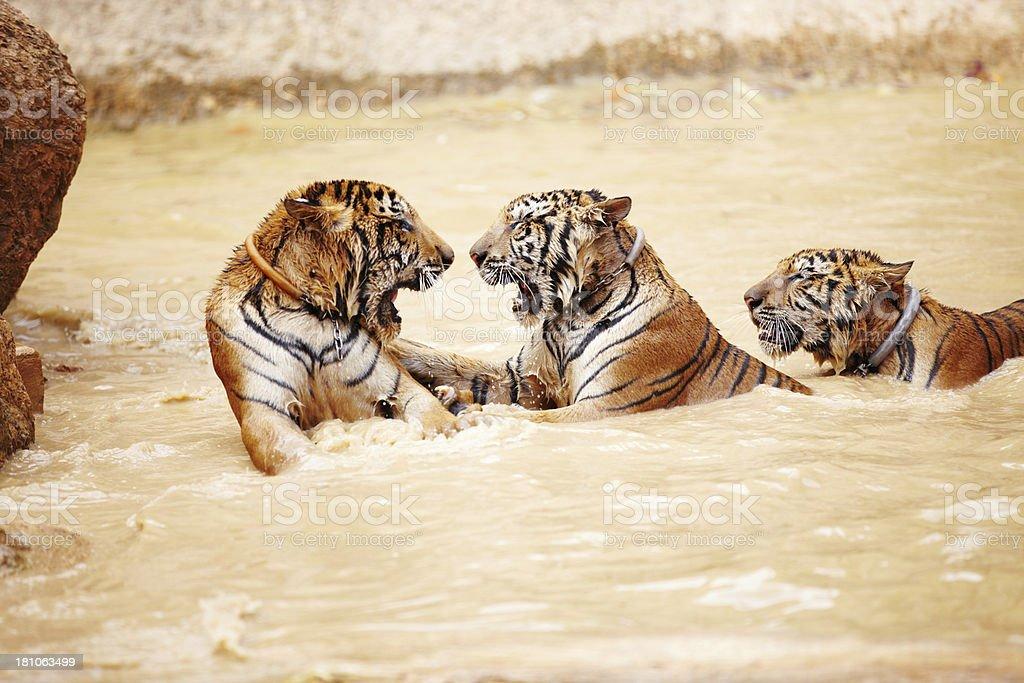 Playful predators stock photo