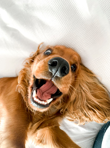 A cocker spaniel puppy lying on his back on the bed indoors, looking towards the camera being playful.