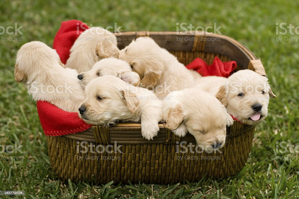Playful puppies royalty-free stock photo