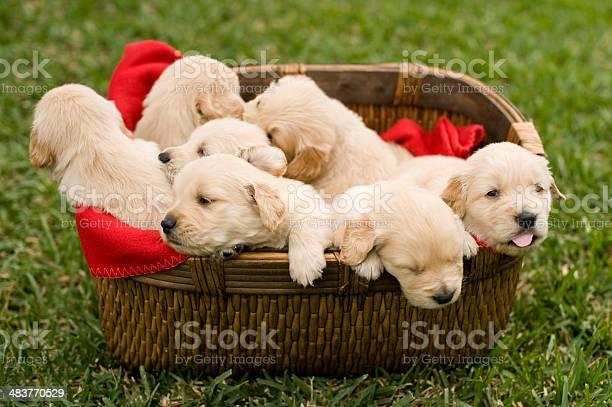 Playful puppies picture id483770529?b=1&k=6&m=483770529&s=612x612&h=n8 wlplllxtajq4slbbkuqh0y5cfxng3jft1cps484m=