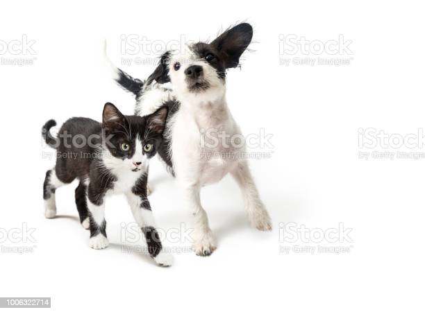 Playful puppy and kitten walking forward picture id1006322714?b=1&k=6&m=1006322714&s=612x612&h=yd0ufkhzg o9o5i3kzjp 2eb 4w1yzbb1sj h0cp13s=