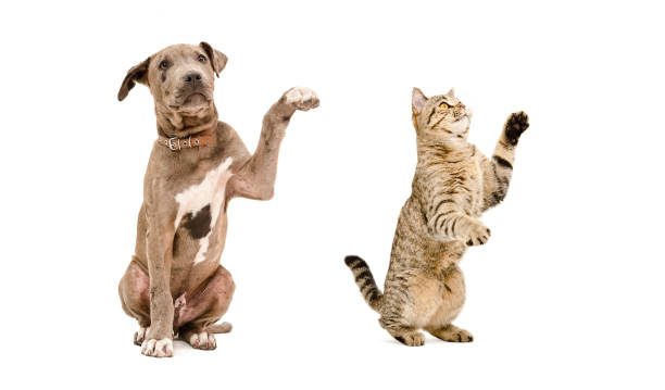 Playful puppy pit bull and a cat Scottish Straight stock photo