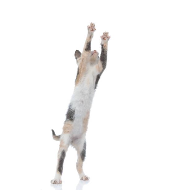 Playful pussy playing and jumping picture id1182429287?b=1&k=6&m=1182429287&s=612x612&w=0&h=rn0ksrnhmlvovh2z8hdai0jshibuadtrz3e94co6xvc=