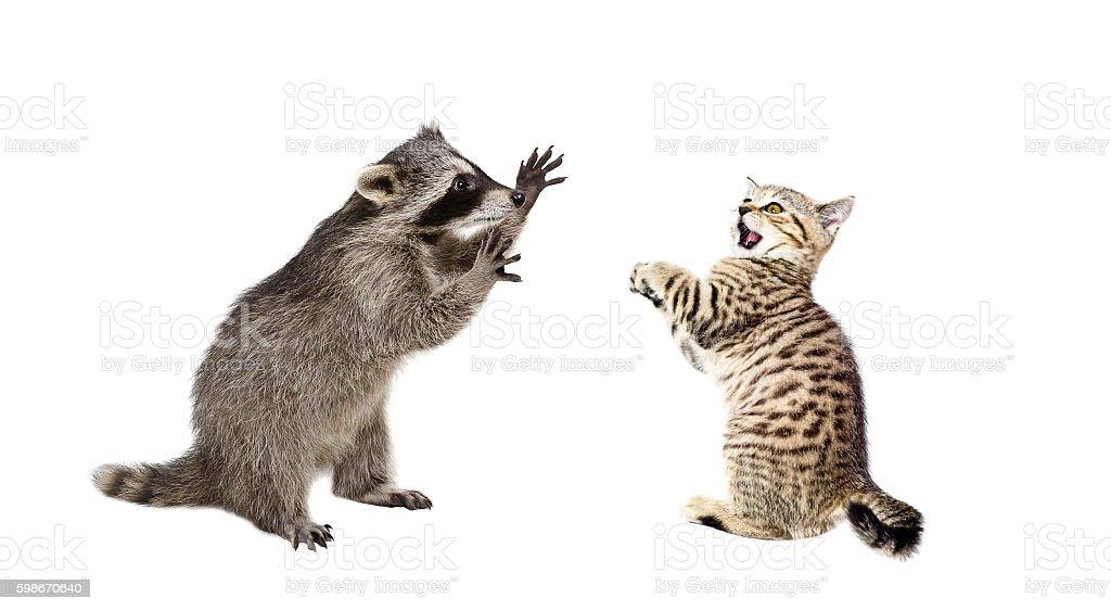 Playful raccoon and frightened kitten Scottish Straight stock photo