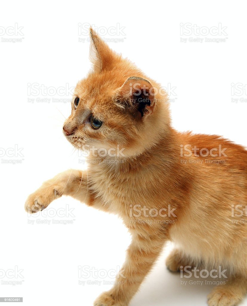 playful red small cat royalty-free stock photo