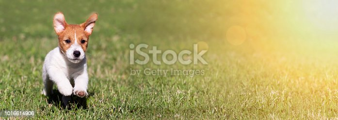 1053642922 istock photo Playful running happy pet dog puppy banner 1016614906