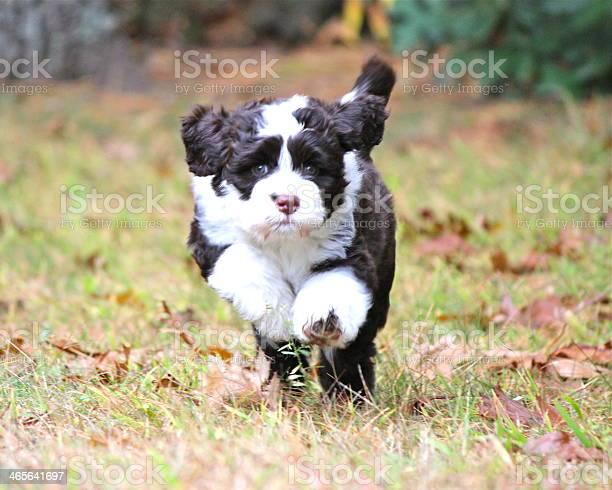 Playful running portuguese water dog puppy picture id465641697?b=1&k=6&m=465641697&s=612x612&h=jlnncjw sglbywdchkvagdpp9ndlq6ovwq2zfi4qzao=