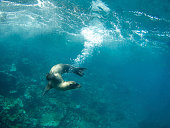 Playful sealion leaves a curving trail of underwater bubbles under splashing waves in the Galapagos sea
