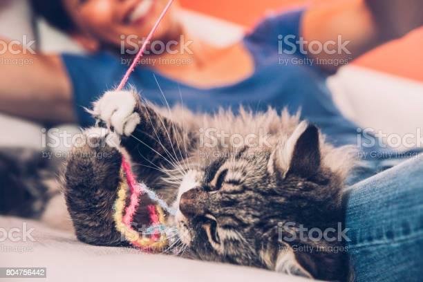 Playful siberian cat enjoying playing on sofa with her owner picture id804756442?b=1&k=6&m=804756442&s=612x612&h=p6wf1n0uwb gs0fu90wbrws4hkaqhwdwblxwqbua12g=