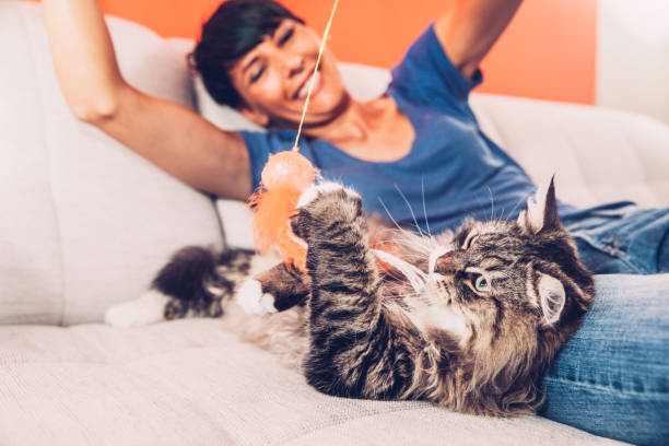 Playful Siberian Cat Enjoying Playing On Sofa With Her Owner stock photo