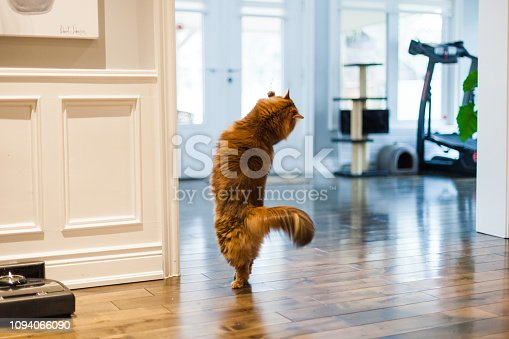 cute Siberian cat playing in the living room, standing on his two feet