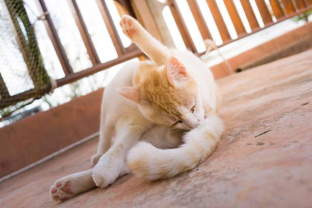 spielerische dumme süßen haustier katze pflege hintern - sanft und sorgfältig stock-fotos und bilder