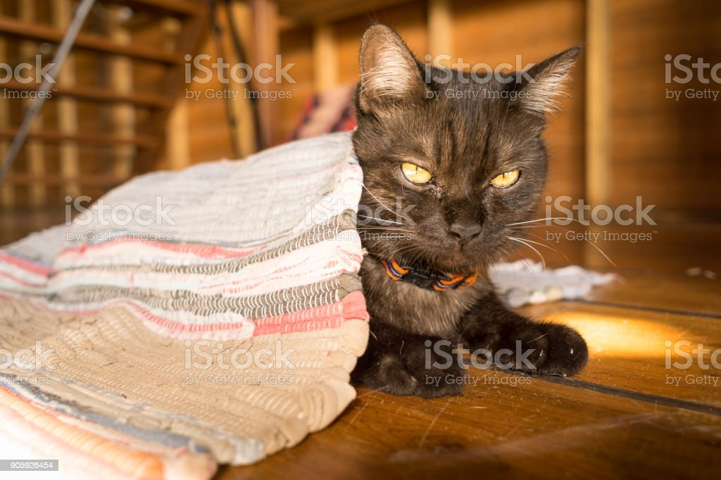Playful silly cute pet Cat hiding under door mat in stealth mode stock photo