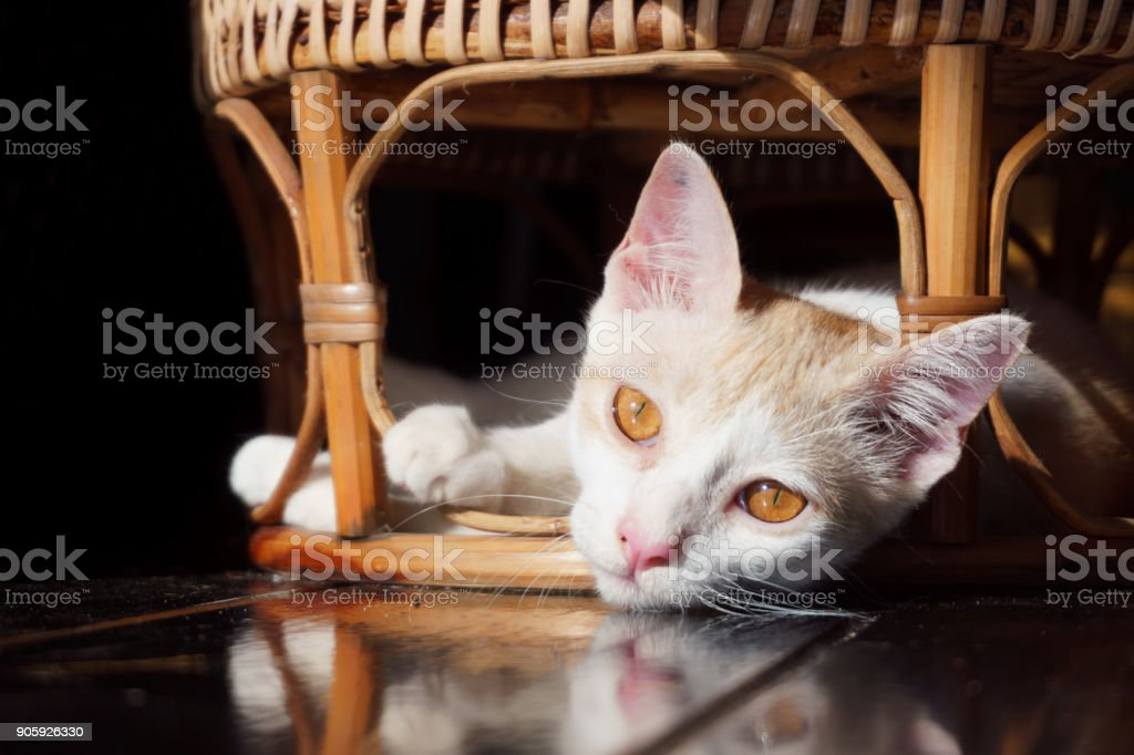 Playful silly cute pet Cat hiding under furniture in stealth mode stock photo