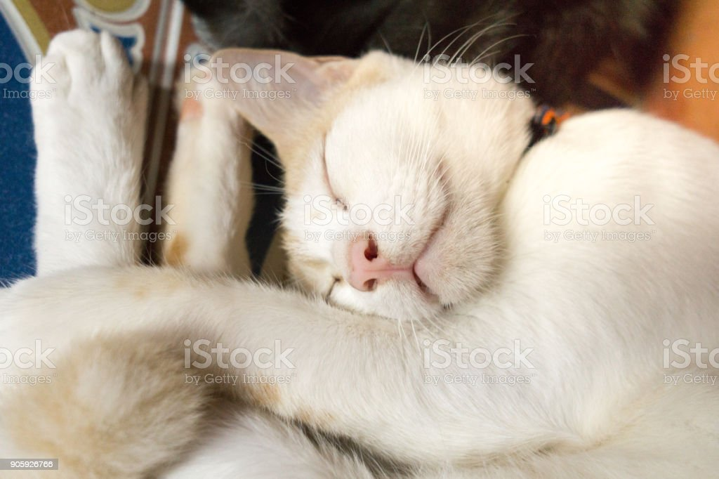 Playful silly cute pet Cat sleeping in strange position stock photo