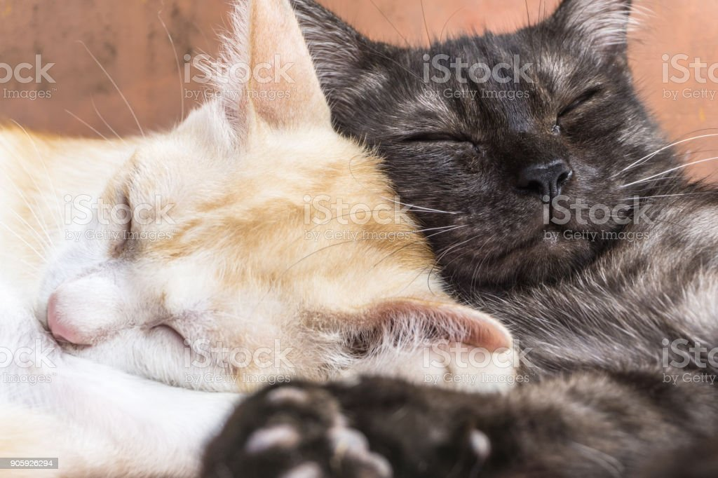 Playful silly cute pet Cats sleeping having sweet dreams stock photo