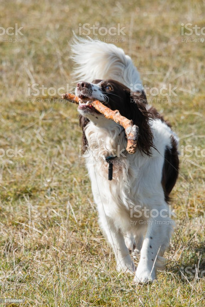 A playful springer spaniel carrying a stick stock photo