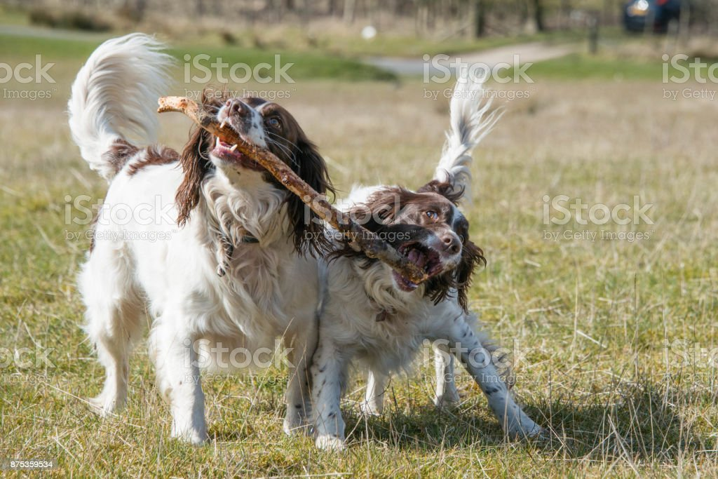 Playful springer spaniels carrying a stick during a walk through fields in the UK stock photo