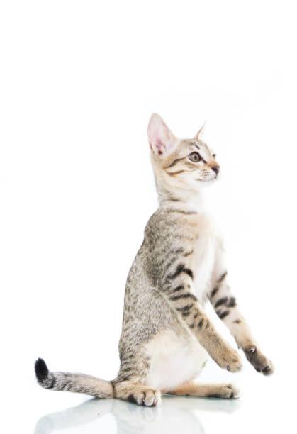 Playful toyger kitten stand up show hand picture id1009359258?b=1&k=6&m=1009359258&s=612x612&w=0&h=1kmxjxps9nrmlbh8czvfb2t6z2wiz1rmz3e6zy44mrk=