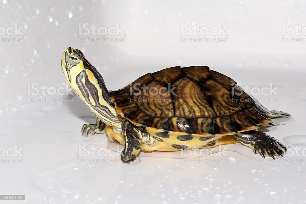 Playful turtle stock photo