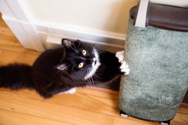 Playful tuxedo cat using paw scratching post. stock photo