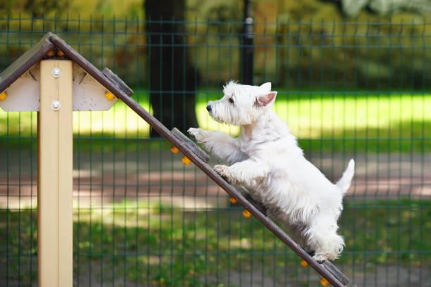 Playful west highland white terrier dog walking up on an aframe ramp picture id1077424858?b=1&k=6&m=1077424858&s=612x612&w=0&h=uuk0oc3lsvxg5vx1khpzt1yokql9qcpalsu7lxfjpdg=