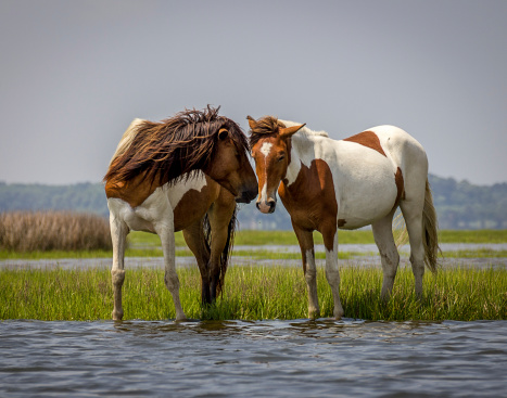 Playful Wild Horses Stock Photo - Download Image Now