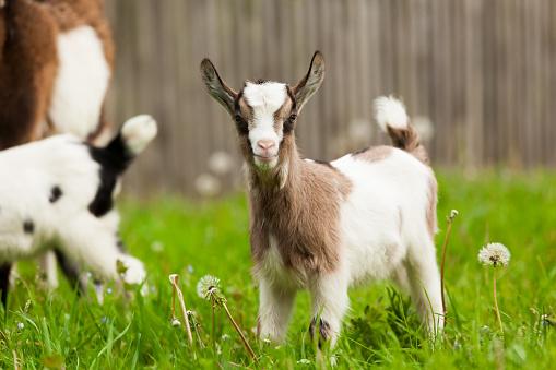 Mother goat feeding lovely white kids on farm, New England, USA