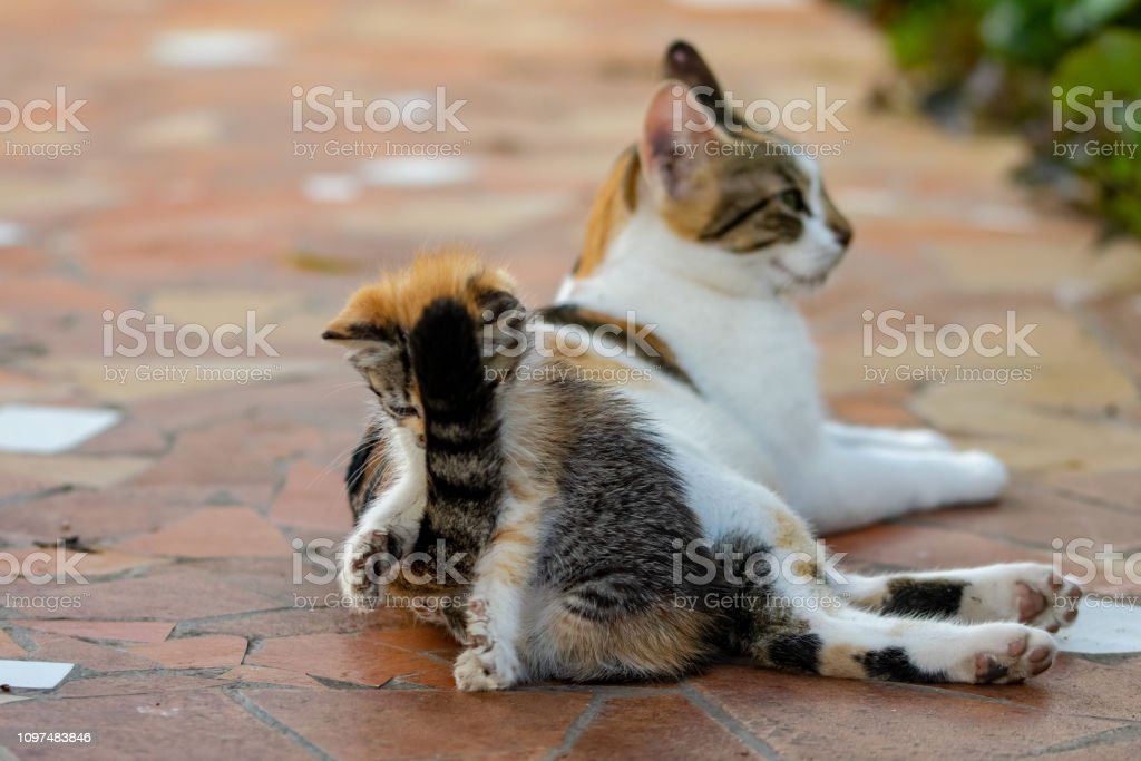 Playful Young Calico Tortoiseshell Kitten Getting A Face Of