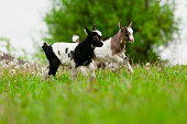 Playful young goats on a green meadow.