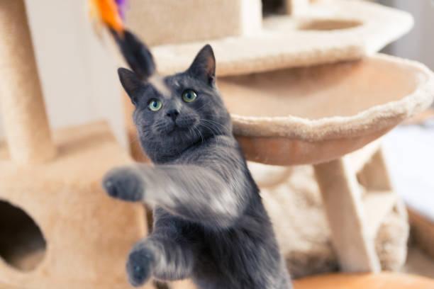 Playful young gray shorthair cat picture id1059273256?b=1&k=6&m=1059273256&s=612x612&w=0&h=t4deayazyoa5zbxa1wlk yedutnjxp5xkyxoh5ewdvq=