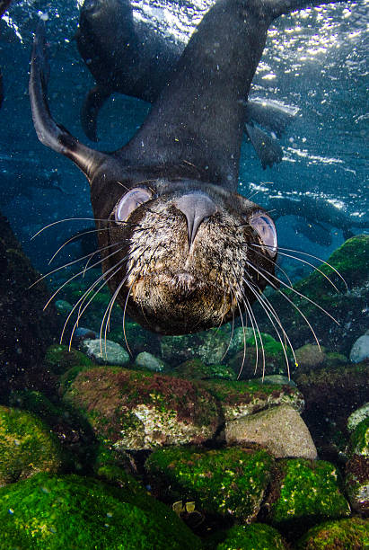 Playful young sea lion stock photo