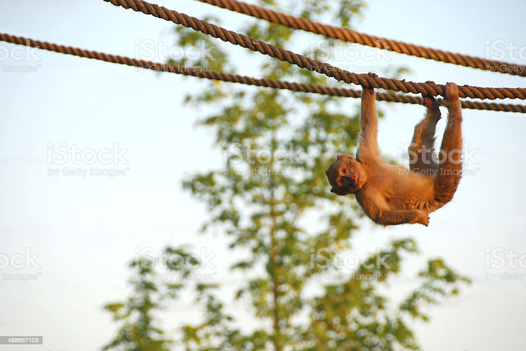 Playfully young Barbary macaque stock photo