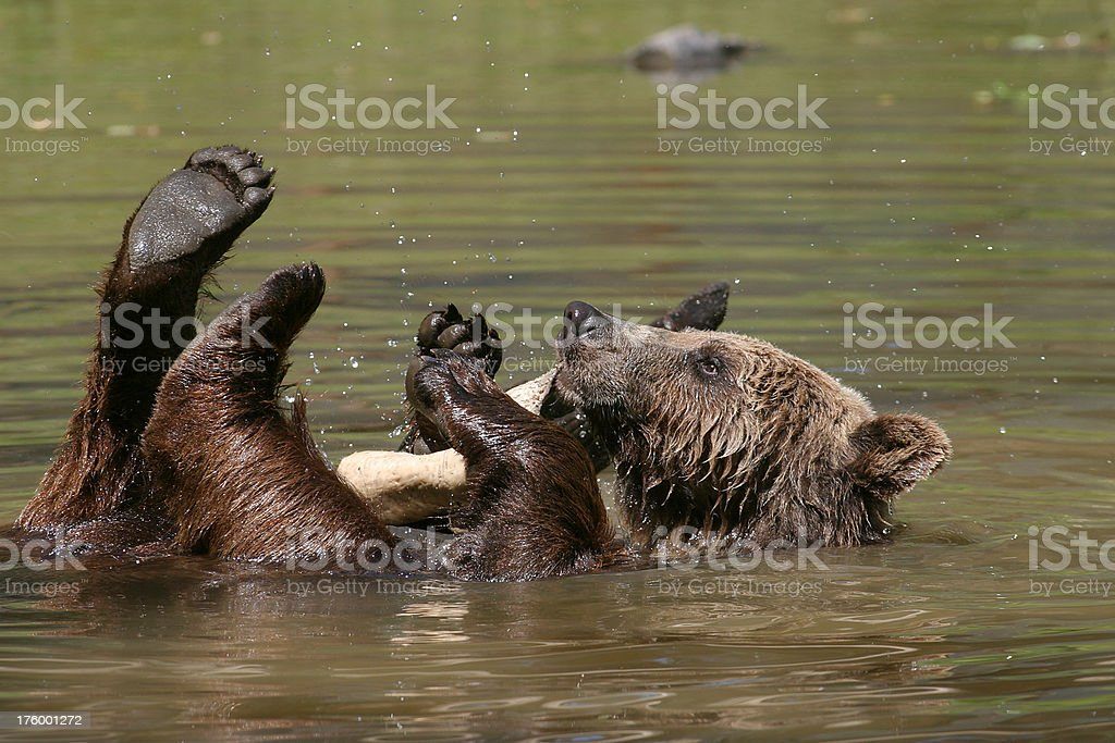 Playing Brown Bear, Grizzly stock photo