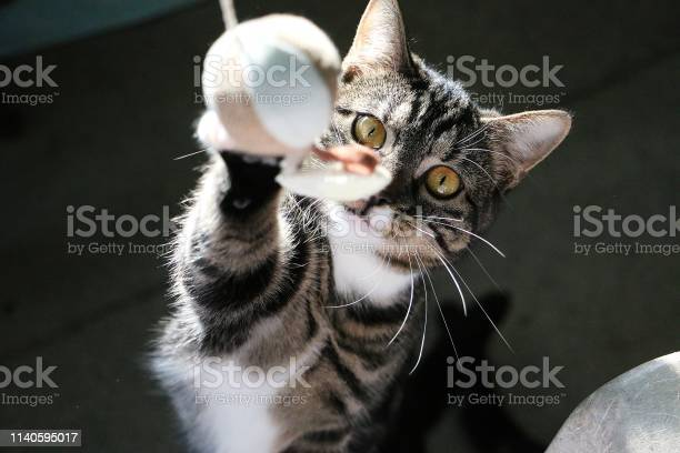 Playing cat picture id1140595017?b=1&k=6&m=1140595017&s=612x612&h=rxp24btq0nbfc ux4flcwnvdpmk h0kk1p4pj9fm8yg=