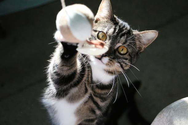 playing cat funny cat is playing with a flying ball undomesticated cat stock pictures, royalty-free photos & images